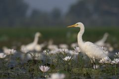 Egret in water lily pond. The white Egret in water lily pond stock photos