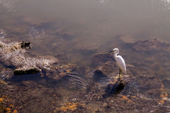 Egret In Water On Rocks Stock Images