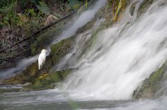 Egret at waterfall Royalty Free Stock Photos