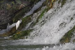 Egret at waterfall. A white egret at the old Espada Dam on the San Antonio River, Texas stock photography