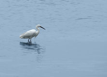 Egret in wet ambiance Stock Image