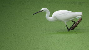 Egret. White bird, green lake, egret going to hunt Stock Photography