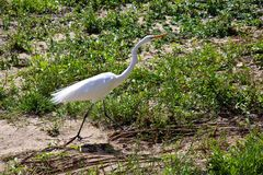 Egret Crane. White Egret Crane bird in dry riverbed stock images