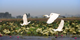 Egret. White egret flying in nature on lotus swamp Royalty Free Stock Photo
