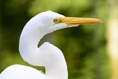 Egret. White heron resting in front of the green waters of a lake Royalty Free Stock Images