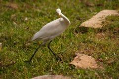 Egret. White egret in Sri Lanka Royalty Free Stock Images
