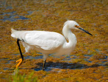Egret. A white egret wades in the water Stock Photo