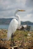 egret wielki Fotografia Stock