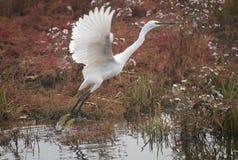 egret wielki Zdjęcie Royalty Free