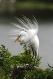 egret wielki Obraz Stock
