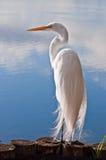 egret wielki Obrazy Royalty Free