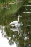 egret wielki Fotografia Royalty Free