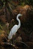 egret wielki Obraz Royalty Free