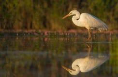 egret wielki Zdjęcia Stock