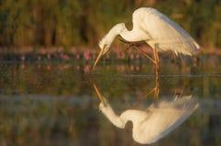 egret wielki Obrazy Stock