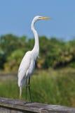 Egret wielki biały ptak Obrazy Royalty Free