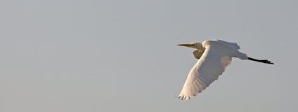 egret wielki biały samolot Fotografia Stock