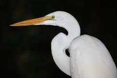 egret wielki portreta biel Obraz Stock