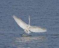 egret wielki splashdown biel Zdjęcie Stock