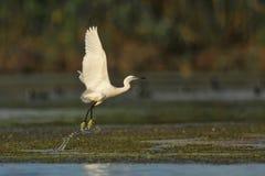 egret wielki z zabranie biel Fotografia Royalty Free