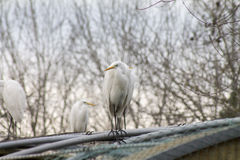 Egret on in the wild Royalty Free Stock Photos