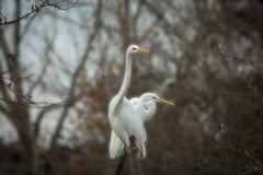Egret on in the wild. Egret on a blurred background in the wild Royalty Free Stock Images