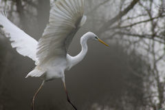 Egret on in the wild Stock Photography