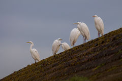 Egret on in the wild. Egret on a blurred background in the wild Stock Photos