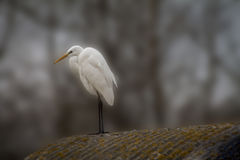 Egret on in the wild Stock Photo