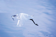 Egret With Fish In Flight Stock Images