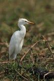 egret wystawiający rachunek kolor żółty zdjęcia stock