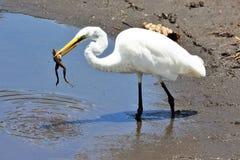 Egret z żabą w jego usta Zdjęcie Royalty Free