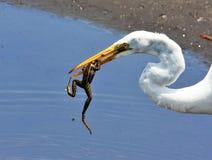 Egret z żabą w usta Obrazy Royalty Free