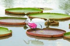 Egreten jagar Royaltyfria Bilder