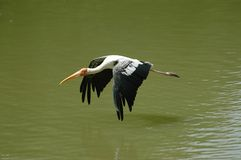 egretflyg Arkivfoto