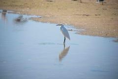 egrets белые Стоковая Фотография RF