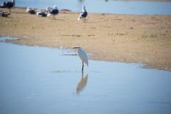 egrets белые Стоковая Фотография