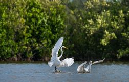 Egrets бой большие Ardea alba Стоковая Фотография RF