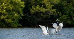 Egrets бой большие Стоковые Изображения RF
