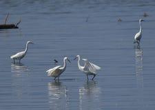 Egrets в бое Стоковое фото RF