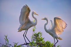 2 Egrets в дереве стоковые фотографии rf