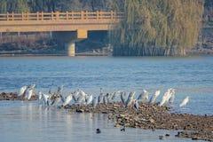 Egrets в реке Стоковые Фото