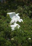 2 egrets в сопрягая поведении на rookery Флориды Стоковые Изображения RF