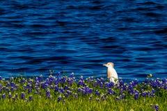 Egrets в Bluebonnets Техаса на озере Трэвисе на загибе Muleshoe в t Стоковая Фотография