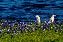 Egrets в Bluebonnets Техаса на озере Трэвисе на загибе Muleshoe в t Стоковые Фотографии RF