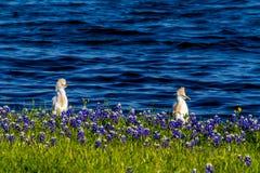 2 Egrets в Bluebonnets Техаса на озере Трэвисе на загибе Muleshoe в t Стоковые Изображения
