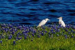 2 Egrets в Bluebonnets Техаса на озере Трэвисе на загибе Muleshoe в t Стоковое фото RF