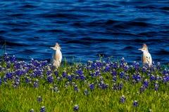 Egrets в Bluebonnets Техаса на озере Трэвисе на загибе Muleshoe в t Стоковое Изображение RF
