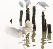 Egrets летания Стоковые Изображения RF
