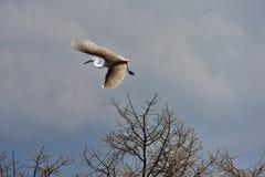 Egrets летают Стоковое Изображение